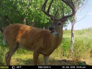 Kansas white tail hunts red dog outfitters